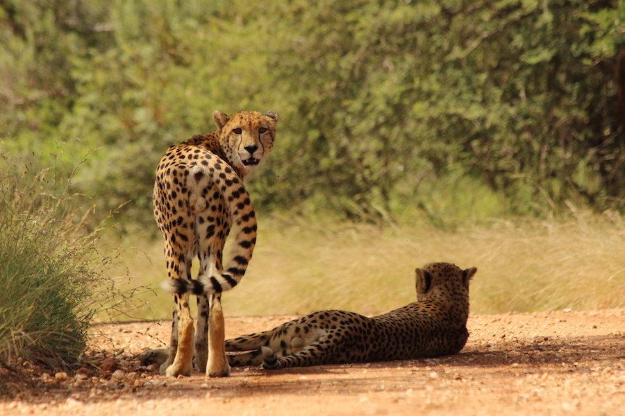 leopard safari afrique cheval