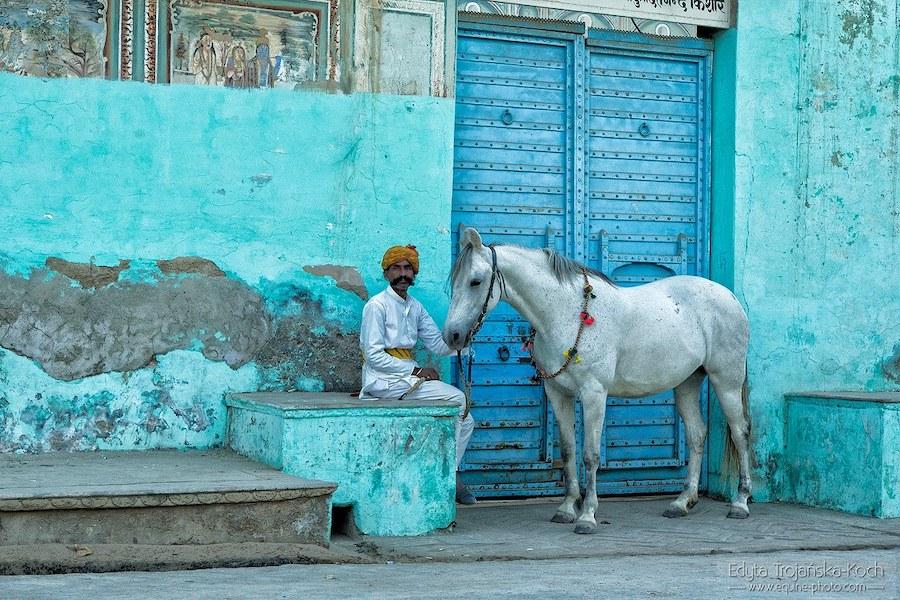 Cheval indien marwari Rajasthan