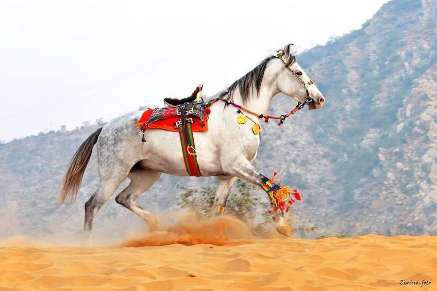 cheval marwari traditionnel inde