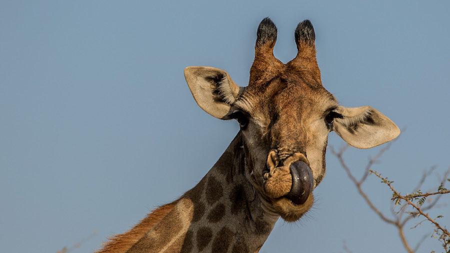 girafe safari afrique cheval